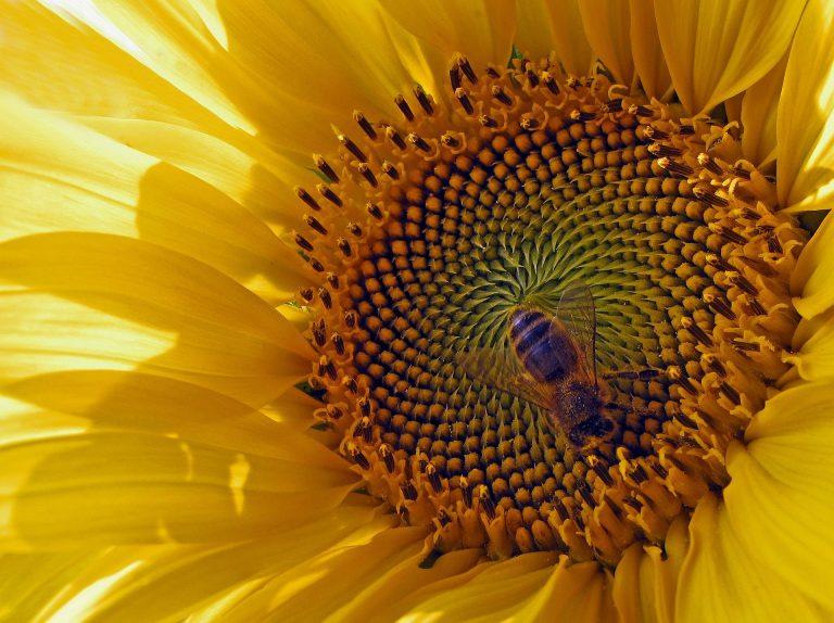 sun-flower-277055_1920