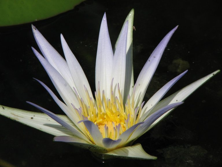 waterlily-1084930_960_720
